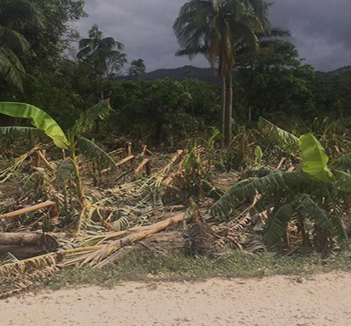 ouragan arbre haiti