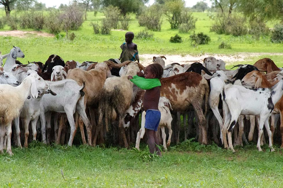 distribution-chevres-tchad